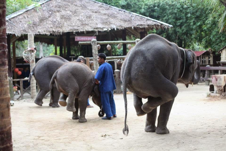 phuket elephant show